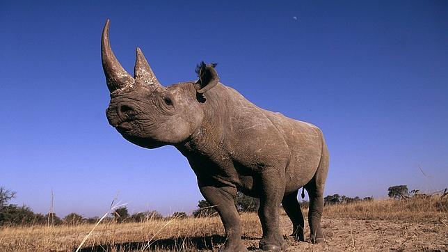 La reserva privada Sabi Sand, dentro del Parque Nacional Kruger, ha tardado 18 meses en inyectar la solución antiparasitaria a sus más de 100 rinocerontes