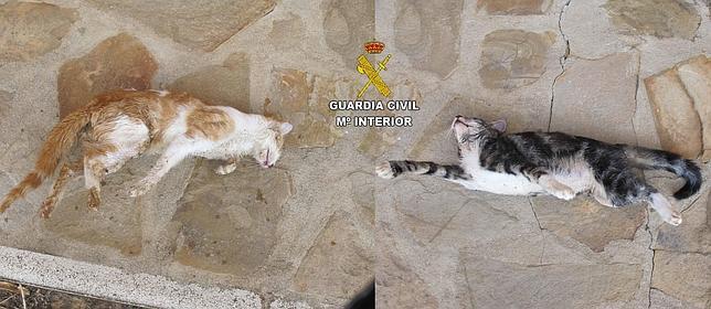 La Guardia Civil detiene a una persona por matar a dos gatos con veneno