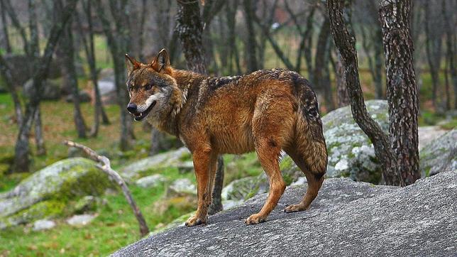 El Plan de Gestión del Lobo ha dado el visto bueno al nuevo documento que revisa el programa previsto para la especie