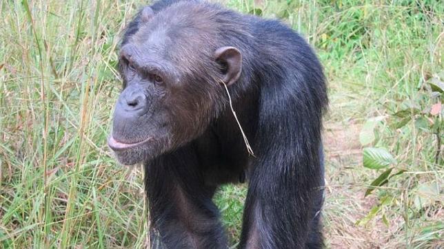 ¿Por qué se ponen «pendiente» estos chimpancés?