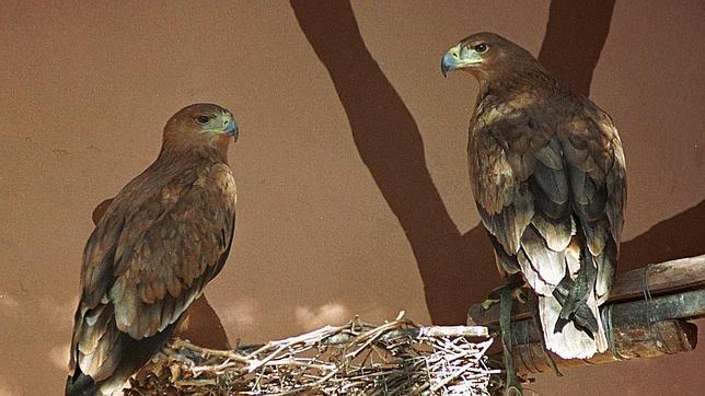 El águila imperial ibérica es una de las aves amenazadas en España
