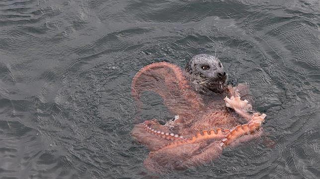 Impresionante pelea entre un pulpo gigante y una foca