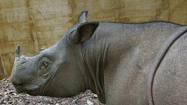 Quedan menos de un centenar de ejemplares de rinoceronte de Sumatra