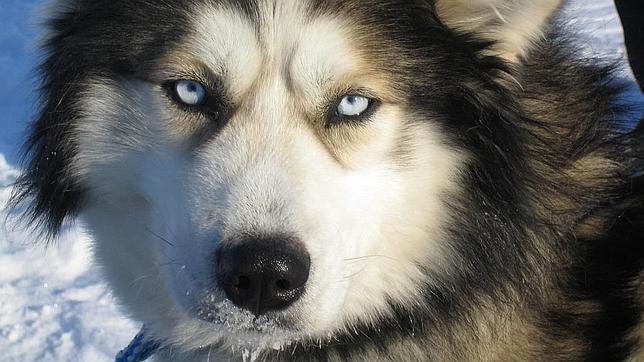 Los Huskys siberianos tienen muchos genes en común con estos lobos ancestrales