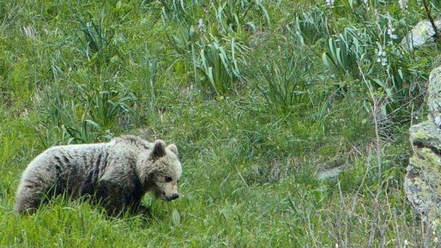 Imagen de uno de los osos asentados en el lado español del Pirineo