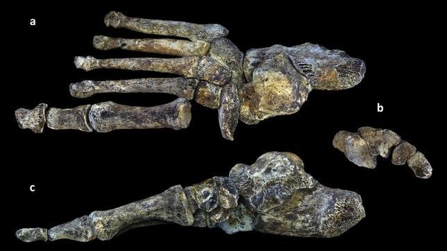 Una misma criatura aunó rasgos primitivos, de australopitecos, con rasgos más humanos
