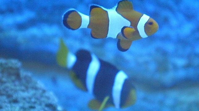El pez payaso, en peligro por el cambio climático