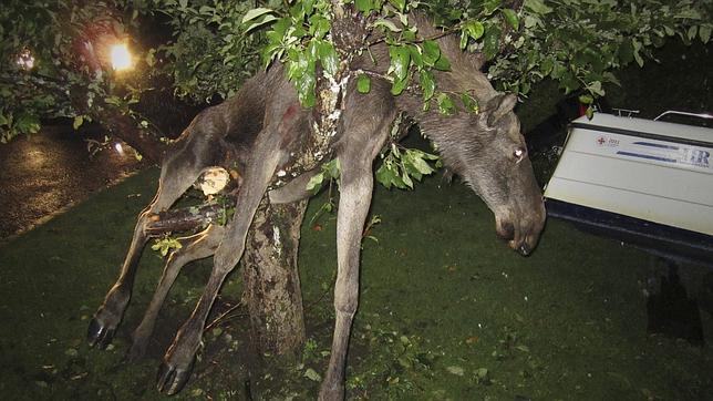 Un sueco encuentra a un alce «borracho» en un manzano