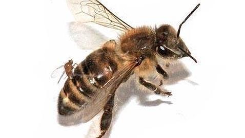 Unas moscas parasitarias convierten en zombis a las abejas de la miel
