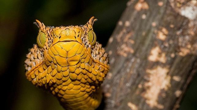 Descubren en Tanzania una nueva serpiente venenosa con cuernos sobre los ojos