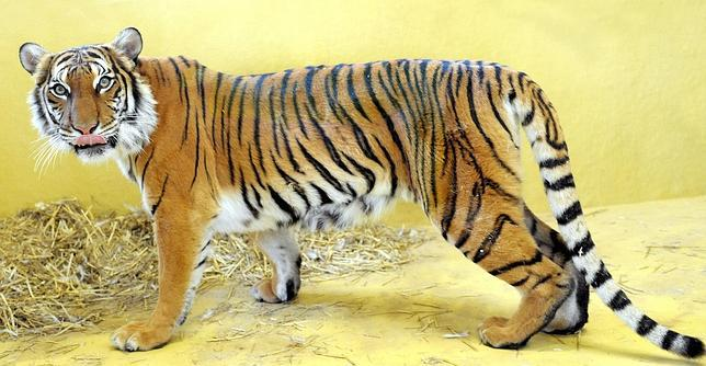 La teoría de Turing sobre las rayas del tigre, demostrada por científicos
