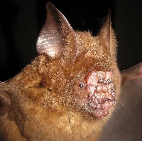 Hallan un murciélago «nariz de repollo» en Vietnam