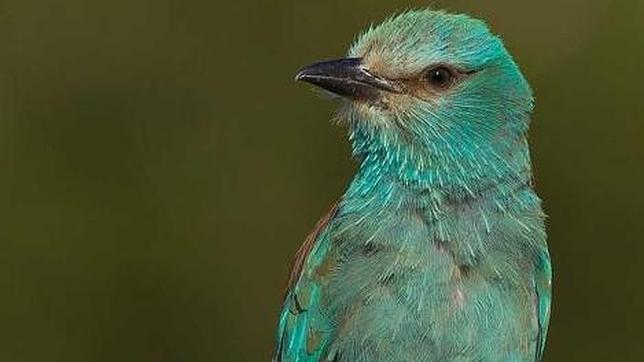 La carraca, Ave del Año 2012 para SEO/BirdLife