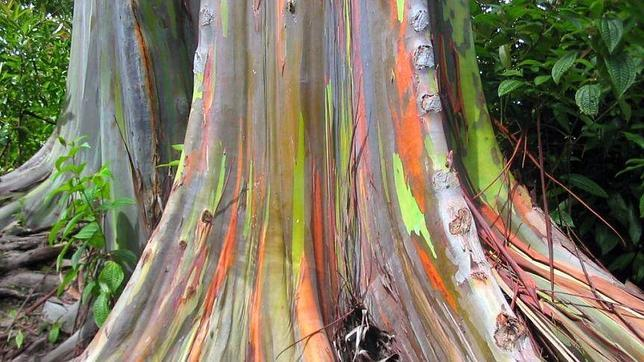 El curioso árbol de los mil colores