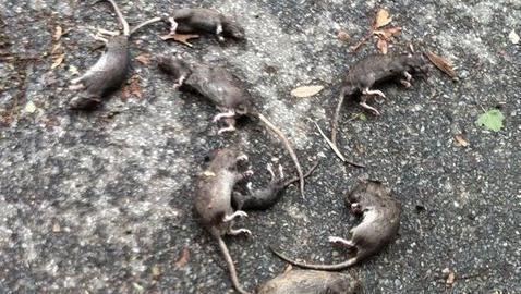 Pendientes de los «ocho millones de ratas» de Nueva York
