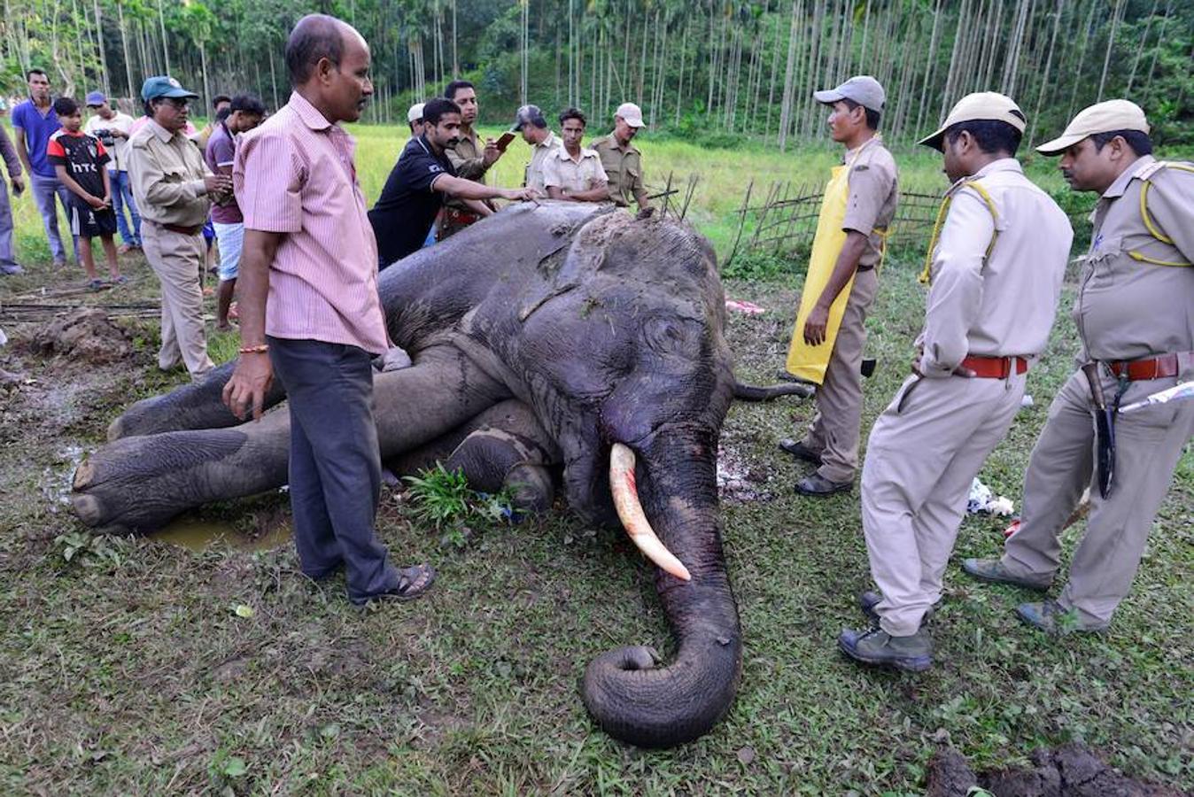 Muere envenenado un elefante en India