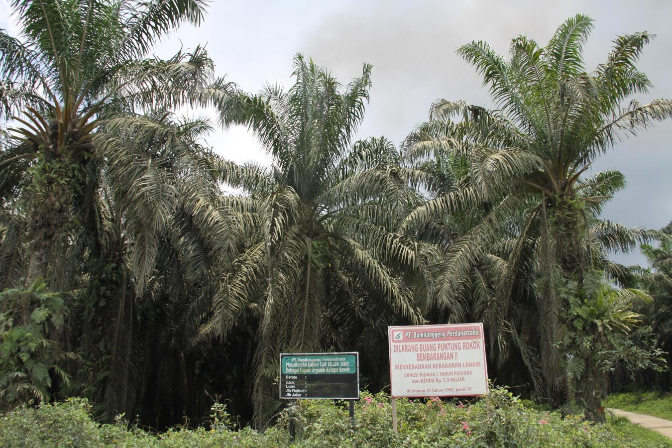 Con sus plantaciones en las islas de Borneo y Sumatra, Indonesia copa la mitad de los más de 60 millones de toneladas de aceite de palma que se producen en todo el mundo.