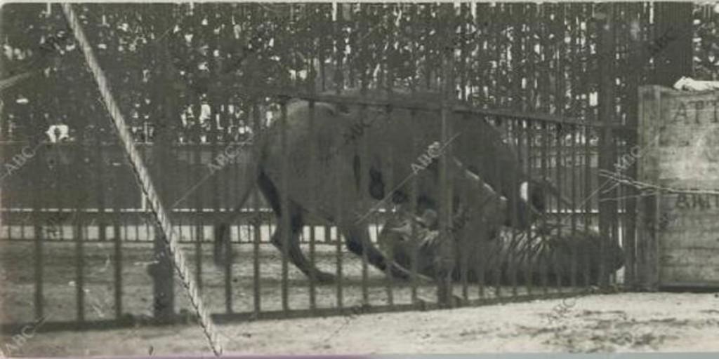 La bárbara lucha entre un toro y un tigre que provocó un estampida en San Sebastián - Archivo ABC