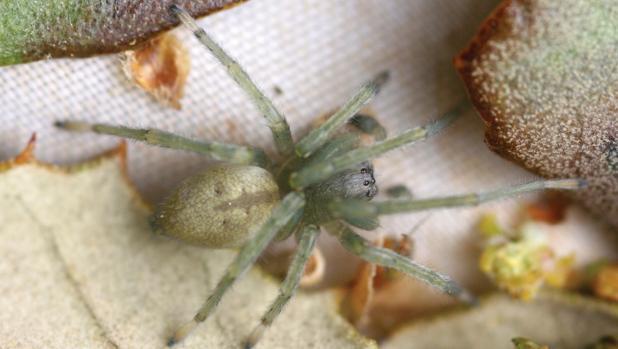 La araña descubierta en encinas del centro de España