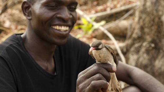 El curioso caso del pájaro que se comunica y colabora con los humanos pero explota a otras aves