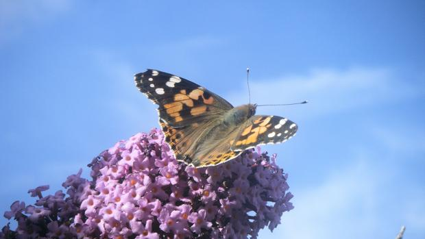 La mariposa Vanessa cardui, uno de los insectos protagonistas de las migraciones entre África y el norte de Europa