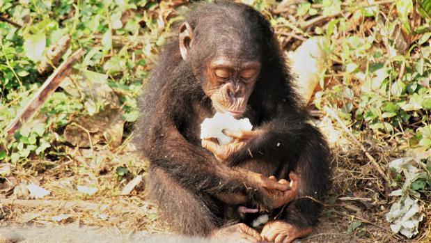Un chimpancé come fruta