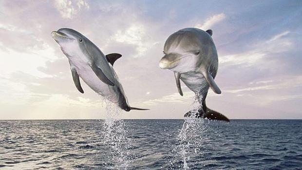 Los delfines hablan entre sí e incluso tienen dialectos