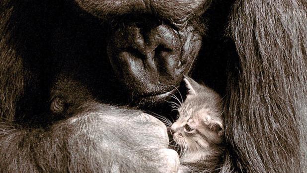 La gorila Koko, la única que aprendió el lenguaje de signos, con su mascota, el gato All Ball