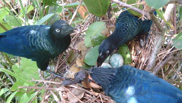 Estos cucos, que normalmente anidan en grupos de dos a tres hembras, pueden convertirse en parásitos sociales después de que se destruyan sus propios nidos