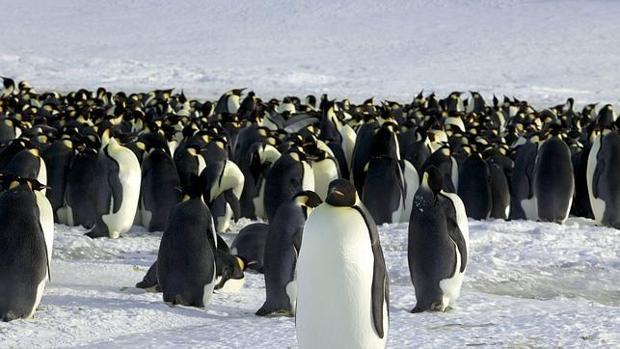 Pingüinos emperador de la Antártida