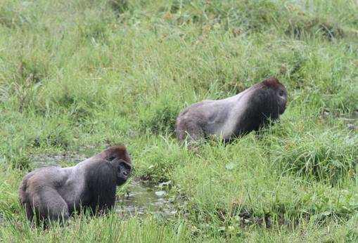Descubren que los gorilas tienen amigos para toda la vida y celebran grandes «fiestas» anuales 205517-kAr--510x349@abc