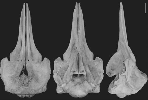 Estas son vistas dorsal, ventral y lateral del cráneo de B. minimus (desde la izquierda)