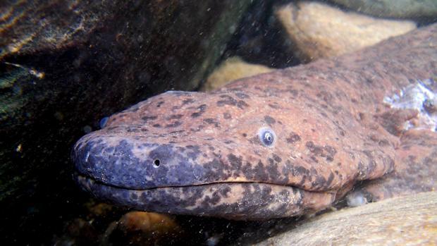 Salamandra gigante de China (Andrias davidianus)