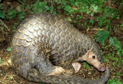 Un pangolín. El SARS-CoV-2 podría haber infectado a estos animales antes de saltar al humano