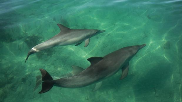 These are Shark Bay dolphins underwater.