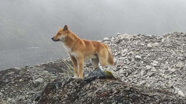 Reaparece una especie de perro cantor que se creía extinta en la naturaleza desde hace 50 años