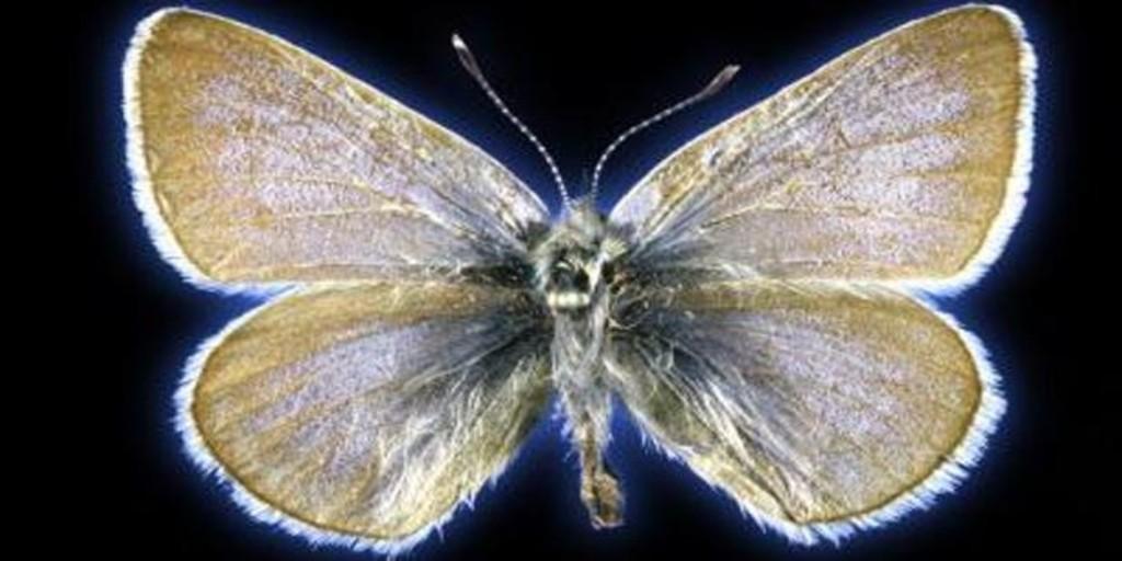 Una mariposa de hace cien años, el primer insecto extinto a causa del ser humano en EE.UU.