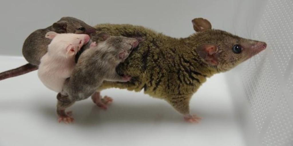 Crean el primer marsupial transgénico