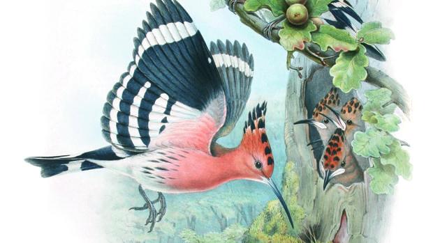 Ilustración de unas abubillas del libro «Aves extraordinarias»