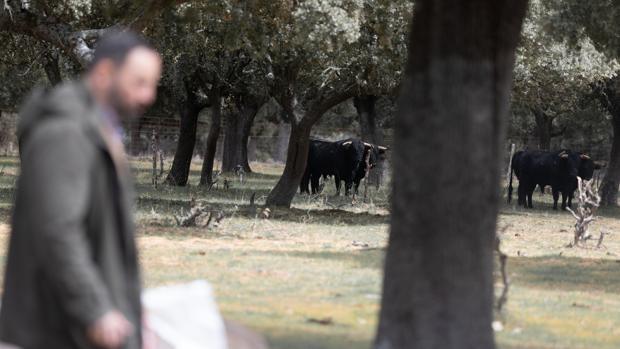 Santiago Abascal, con gando bravo al fondo, en la dehesa charra
