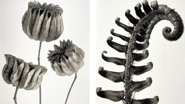 «Abutilon» (1928) y «Polystichum munitum» (1928), ambas de K. Blossfeldt