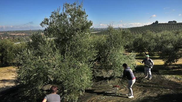 Un grupo de personas recogiendo la cosecha en Jaén