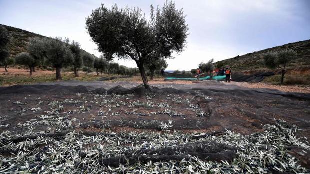 España vendió a EE.UU. 3,5 millones de kilos de aceituna negra entre enero y marzo