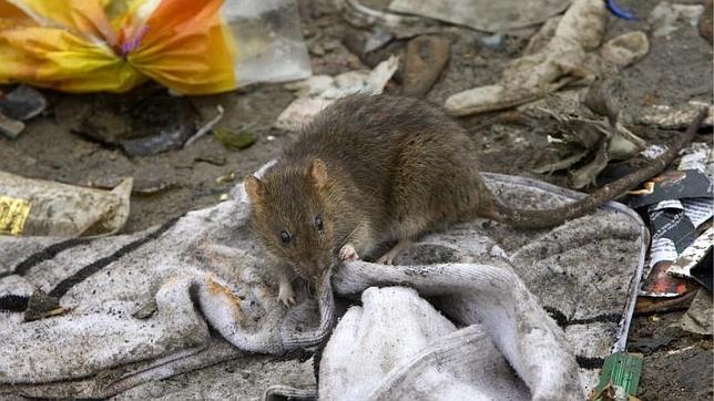 Una rata, en el centro de Madrid