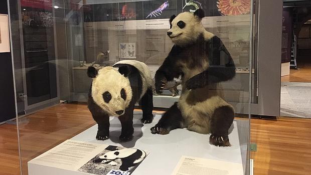 Chu-Lin disecado (izquierda), junto a su madre Shao-Shao