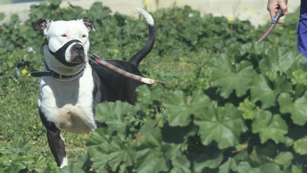 Imagen de archivo de un perro de raza potencialmente peligrosa