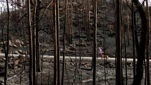Un vecino de Melon (Orense) pasea en una zona arrasada por los incendios