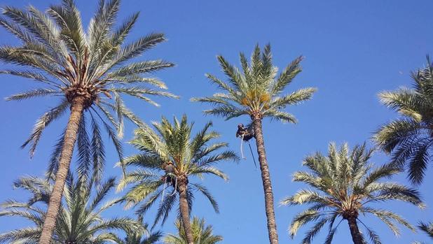 Estas mariposas nocivas se hospedan en las palmeras