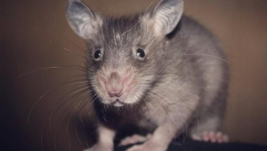 Vídeo: la rata africana que se mima en Canarias