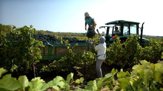 Trabajadores recogiendo la uva en una vendimia de años anteriores